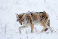 Wile E. Coyote by HEAtala #animals #animal #pet #pets #animales #animallovers #photooftheday #amazing #picoftheday