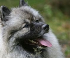 Keeshond Stand Royalty Free Stock Photo, Pictures, Images And ...