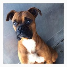 Bruno the handsome Boxer: Last call to save the life of a beautiful dog