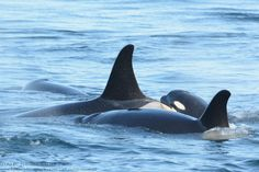 Eclipse (J41), J51, and Tsuchi #orca #killer whale