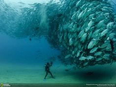 An incredible capture of a large group of Bigeye trevally fish at Cabo Pulmo National Park in Baja California Sur, Mexico. Photograph by Octavio Aburto for the National Geographic Photo Contest 2012