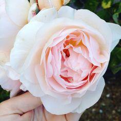 Blush vintage rose