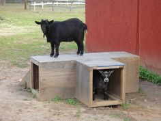Playtime with Wilson and Krissy Goats, Cow, Animals, Animales, Animaux, Cattle, Animal, Animais, Goat