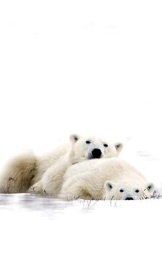 What do polar bears eat? In this article we are going to focus on the types of food that polar bears eat in the wild as well as in captivity. Animal 2, Mundo Animal, Love Bear, Big Bear, Black Bear, Brown Bear, Animals Beautiful, Cute Animals, Bear Photos