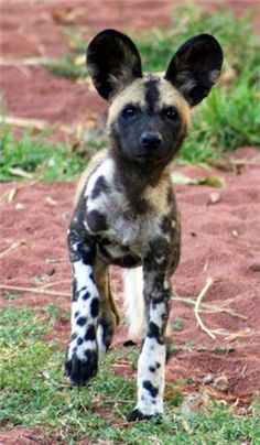 African Wild Dog Puppy wonder how they are as guard dogs?
