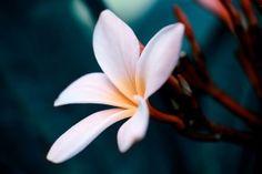 White Plumeria Flower Close Up Desktop Wallpaper Hd Flowers, Strange Flowers, Beautiful Flowers Wallpapers, Flowers Nature, White Flowers, Floral Wallpaper Desktop, Desktop Wallpaper 1920x1080, Background Hd Wallpaper, Flower Images Hd