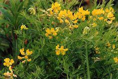 Fjällflora: Gulvial, Lathyrus pratensis, Meadow Vetchling Flora, Plants, Plant, Planets