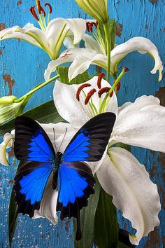 Blue butterfly on White Lily by Garry Gay