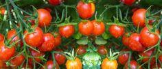 Cultivar tomates cherry huerto en casa   EcoHortum