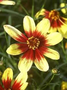 Bright and cheery, Coreopsis perennials make great cut flowers. Fill your garden and attract butterflies with Coreopsis flowers from Bluestone Perennials. Sunny Bank, Mostly Sunny, Heuchera, Bengal Tiger, Flowers Perennials, Garden Landscaping, Landscaping Ideas, Shades Of Yellow, Plant Care