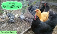 Fresh Eggs Daily®: Adding to an Established Flock - Integrating New Pullets or Introducing Adult Chickens