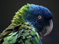 Blue-headed Macaw