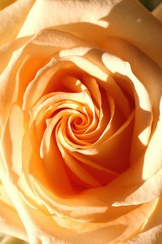 Today there are some 3,500 listed species  over 2,000 cultivars. Around 50 new varieties appear each year, with names ranging from the poetic Fragrant Cloud to the more prosaic International Herald Tribune. The rose Peace, developed in 1945, was voted the worlds favorite rose in 1976.