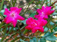 Burcina Park in Pollone (Biella. Italy) - Wild roses
