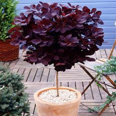 Standard Cotinus Royal Purple - 1 tree Buy online order yours now Potted Plants Patio, Potted Trees, Fruit Plants, Trees To Plant, All Year Round Plants, Dwarf Trees For Landscaping, Smokebush, Trees For Front Yard, Smoke Tree
