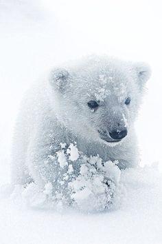 Baby Polar bear #photo #wildlife