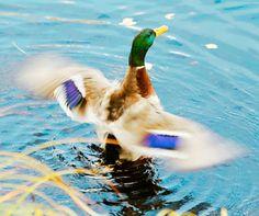 Finland, Photos, Pictures, Bird, Places, Animals, Animales, Animaux, Birds