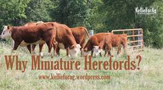 Why Miniature Herefords? Read to find out why these cows are turning out to be very popular! Mini Hereford, Miniature Hereford, Hereford Cattle, Miniature Cows, Cattle Farming, Livestock, Dairy Cow Breeds, Types Of Cows