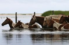 wild chincoteague ponies crossing a creek in virginia, usa