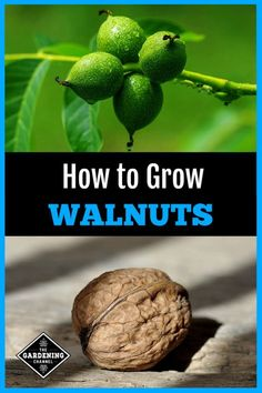 Learn how to grow walnut trees and the benefits to growing Black or English walnuts. #gardeningchannel #growingnuttrees #growingwalnuts