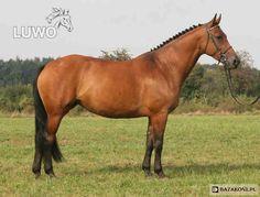 Polish Half-Bred Horse - mare Przekora