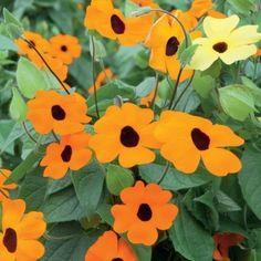La Suzanne aux yeux noirs ou Thunbergia est une plante vivace grimpante, mais cultivée comme une annuelle. Elle vous éblouira de par son abondante floraison en guirlande fleurie et qui sera du plus bel effet en pot, à condition toutefois de la palisser.   Supprimez régulièrement les fleurs fanées afin de prolonger la floraison.