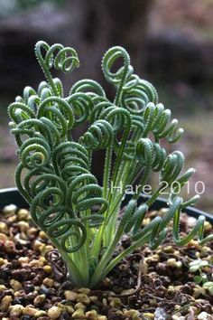 Albuca namaquensis, I don't know if this is the correct name for this plant.  When trying to find it on online, the photos associated with the name appear to be Spiralis Juncus plant, which is sometimes available in the spring, and is often used for ponds.  ?  This plant in the photo looks more like a fern?