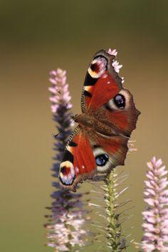 Neitoperhonen, Herkkupurkki Finland, Moth, Insects, Photos, Pictures, Animals, Animales, Animaux, Animal
