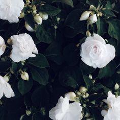 My lovely roses.
