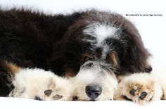 A bernedoodle from Swissridge kennels. The first breeder of bernedoodles in the world!!!!!!!! We invented this mix!!!!!!! Come to us to get all the need to new info about this amazing cross!