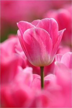 Every lady walks away with pink tulips. Pink Tulips, Tulips Flowers, Flowers Garden, My Flower, Colorful Flowers, Beautiful Flowers, Roses, Blooming Flowers, Pink Love