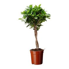 Potted plant, FICUS MICROCARPA MOCLAME