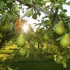 Pear trees are both ornamental and productive.