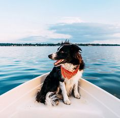This Border Collie Travels More Than Most People