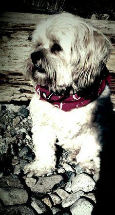 Lhasa red bandana Boxer Puppies, Corgi Dog, Boxer Mix, Mountain Dogs, Bernese Mountain, Big Dogs, Cute Dogs, Shih Tzu Dog, Shih Tzus