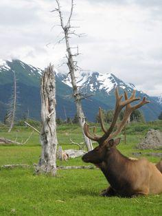 Alaska Wildlife Conservation Center off the Seward Highway near Girdwood, AK