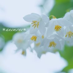 #ハクウンボク#fragrantsnowbell#flower