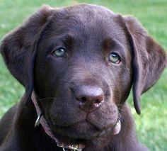 Sad-eyed lab pup.