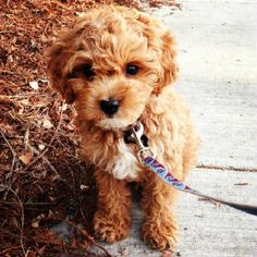 Cavapoo! I want one!....wait...I now have one :)