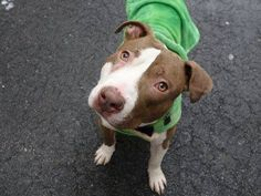 TO BE DESTROYED - 02/13/15 Manhattan Center -P  My name is HODOR aka TYSON. My Animal ID # is A1026979. I am a male brown and white pit bull mix. The shelter thinks I am about 1 YEAR 6 MONTHS old.  I came in the shelter as a STRAY on 02/02/2015 from NY 11372, owner surrender reason stated was STRAY.
