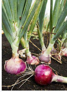 9 trucos para Crecer cebollas.  Un par de buenos consejos que no sabía acerca.