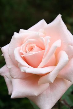 "Pink Rose by iKenC via Yvonne Brodkin ~~ Reminds me of  the prayer: ""Saint Therese, ..please pick me a Rose from the heavenly garden and send it to me with a message of love...."""