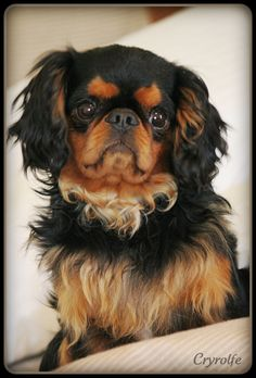 """English Toy Spaniel From your friends at phoenix dog in home dog training""""k9katelynn"""" see more about Scottsdale dog training at k9katelynn.com! Pinterest with over 20,200 followers! Google plus with over 138,000 views! You tube with over 500 videos and 60,000 views!! LinkedIn over 9,000 associates! Proudly Serving the valley for 11 plus years!"""