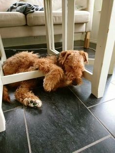 Airedale Sleep Position...Love This Photo!!!