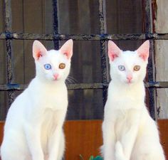 you know I LOVE cats, and white cats are awesome, but this kind with two different color eyes kind of freak me out. Pretty Cats, Beautiful Cats, Animals Beautiful, Funny Cats, Funny Animals, Cute Animals, Crazy Cat Lady, Crazy Cats, Gatos Cats