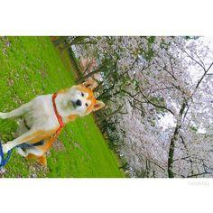 春ってあっとゆーまに過ぎていくよね😂🌸 #こたろう🐕  #愛犬  #柴犬  #長男  #like4like #sleeping #saturdays #instamood #instalike #sunnydays #instagood #dog #doglife