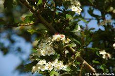Crataegus monogyna (Majuelo, espino albar o espino blanco) arbusto o pequeño árbol espinoso y caduco, perteneciente a la familia de las Rosáceas. Sus flores son blancas con cinco pétalos y estambres con la punta de color púrpura, se sitúan en grupos en los extremos de las ramas. El fruto, que madura en otoño, es carnoso y muy consumido por las aves, y algunos mamíferos que actúan como dispersores. Crece en matorrales, orlas de bosque, orillas de ríos y vaguadas, zarzales, espinares.