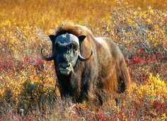 Muskox (musk ox). The muskox, is an Arctic mammal noted for its thick coat and for the strong odor emitted by males, from which its name derives. This musky odor is used to attract females during mating season. Muskoxen primarily live in Arctic North America and Greenland, with small introduced populations in Sweden, Siberia and Norway. It is fully protected.