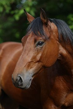 Gorgeous! - Horse, hest, chestnut, brown, shiny, animal, beautiful, photograph, photo