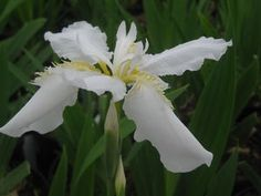 Iris tectorum var. album
